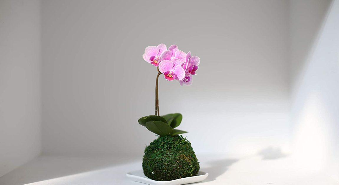 苔玉胡蝶蘭