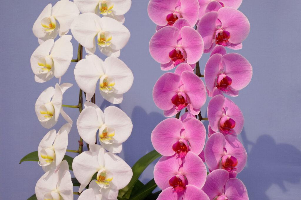 白とピンクの胡蝶蘭